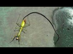 Guy kills a zombie praying mantis, revealing a huge parasite living inside - YouTube