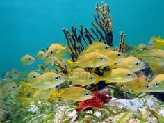 Shoal of french grunt tropical fish wPhoto