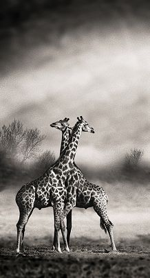 YellowKorner recommends a Photograph by MARC DE FORTESCU entitled GIRAFES CROISÉES. Discover our Photograph in various dimensions with a selection of finishes, on the YellowKorner website Giraffe Photos, Elephants Photos, Black N White Images, Black And White, Animals Beautiful, Cute Animals, Wild Animals, Giraffe Drawing, Animal Categories
