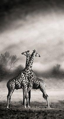 Girafes croisées - Marc de Fortescu