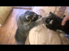 Raccoon Tries to Make Friends With Cat - We Love Cats and Kittens
