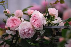 Chelsea Flower Show - Austin, The Wedgwood Rose.. Just beautiful