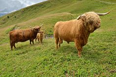 Highland cattle - Wikipedia, the free encyclopedia