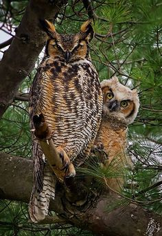 Great Horned Owls - just like this, too - an adult and a fledgling! Amazing! (photo by Josie Goytisolo)