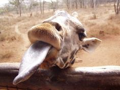 They're highly skilled at pulling funny faces. | 22 Reasons Giraffes Should Be Your New Favourite Animal