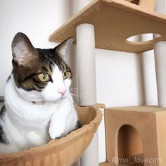 ✴︎ 実家でのしおんのお気に入りスポット😽❤️ . . . . #猫#ねこ#ネコ#ねこ部#ふわもこ部#にゃんこ#にゃんこ先生#ぬこ#愛猫#溺愛#猫好き#猫大好き#猫溺愛#甘えん坊猫#家族猫#キジシロ#ハチワレ#シロクロ#猫好きさんと繋がりたい#にゃんすたぐらむ#にゃんだふるらいふ#ねこあつめ#cat#instacat#instacats#catstagram