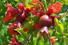 Die Früchte des Granatapfelbaums benötigen etwa fünf bis sieben Monate zum Ausreifen  Der Granatapfel (Punica granatum) ist eine seit vielen tausend Jahren bekannte Zier- und Nutzpflanze. Ihre ursprüngliche Heimat lässt sich nicht zweifelsfrei belegen, vermutlich stammt die Urform aber aus Südosteuropa und Vorderasien. Heute gibt es zahlreiche Kulturformen.