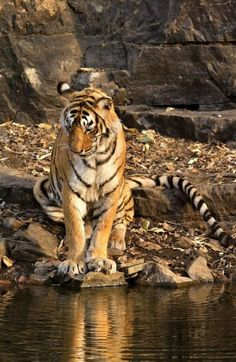 India's most famous tiger, Machli, dies in Ranthambore aged 19