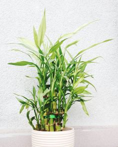 "The ""lucky"" bamboo plant needs very little light, meaning it's basically made for cube desks. Even better? It'll give your work space a much-needed Feng Shui boost. Click for more plants that definitely won't die on your desk at work (or home!)."