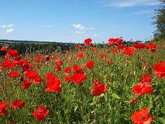 Red Poppies Roslin, Glen, Scotland