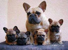 French Bulldog mother and her Puppies. Cãezinhos Bulldog, French Bulldog Puppies, French Bulldogs, American Bulldogs, Puppies And Kitties, Cute Puppies, Cute Dogs, Doggies, Baby Animals
