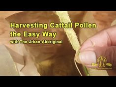 A quick one on an easier way to harvest cattail pollen, although I have my reservations about the ecological ethics on this method. Aboriginal Food, Dyi, Hobbies, Herbs, Camping, Urban, Vegetables, Health, Easy