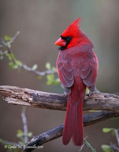 Lovely Cardinal.. Credit: Carlos M. Escamilla 2011