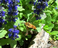 A Surprise Encounter With A Hummingbird Moth
