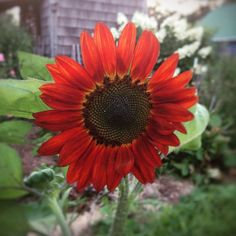 Velvet Queen Sunflower Seeds Red Sunflowers Great for Cut Flowers Velvet Queen Sunflower is a red flowered variety. This red sunflowers does sometimes have an orange tint to it which surrounds a large