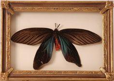 Opgezette vlinder in oude lijst - V0069 | Opgezette vlinders in lijst | Triad-ethnic