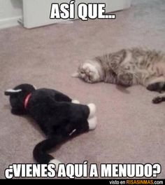 Conversación entre gatos.