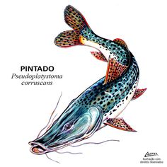 peixe_pintado Fish Drawings, Sketchbook Drawings, Cool Fish, Types Of Fish, Fish Patterns, Fish Art, Freshwater Fish, Tropical Fish, Aquarium Fish