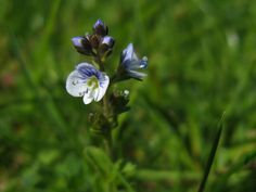 Common field-speedwell, Veronica-persica 11.06.14
