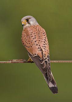 El cernícalo vulgar2 (Falco tinnunculus) es una especie de ave falconiforme de la familia Falconidae extendida por Europa, Asia y África, y de manera accidental en América, Caribe e Indonesia.1