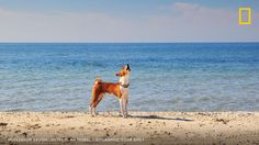 NatGeo: Friday Fact: The Basenji a dog from Africa yodels instead of barking. https://t.co/4QRl1NqiYo #travel
