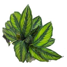 As each new leaf of the Calathea Beauty Star unfurls you will be treated to contrasting light and dark greens with yellow accents that almost look hand drawn. Calathea like damp soil and slightly high humidity and once you zero-in on how to care for this plant it will thrive and look amazing. Easy Care Houseplants, Indoor Plants Online, Plant Lighting, Mini Plants, Calathea, Photoshop, Plant Sale, Outdoor Plants, Top View