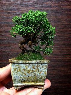 Bonsai ~ miniature