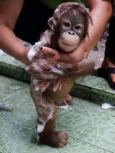 Here is a baby orangutan getting a bubble bath....