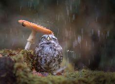 cute-animal-photo-adorable-owl-hide-rain-mushroom (3)