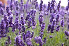 How to take semi-ripe lavender cuttings Lavender Seeds, Growing Lavender, Lavender Plants, Lavender Candles, Lavender Blossoms, Mint Plants, Lavender Scones, Herb Garden, Garden Plants