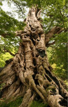 The poetry of the earth is never dead. ~ John Keats, (image: Kyoju of the Gods, Ancient Japanese Tree). Inochinushiyashiro no Mukunoki (Muku Tree). Sacred Tree near Izumo Taisha. Shimane, All Nature, Nature Tree, Amazing Nature, Weird Trees, Japanese Tree, Unique Trees, Old Trees, Tree Roots