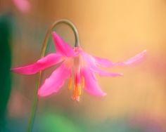 Pink fawn lily [erythronium revolutum], Honeymoon Bay, Vancouver Island, BC by Adam Gibbs Buy Plants, Hardy Plants, Vancouver Island, Native Plants, British Columbia, Spring Time, Sleeve Tattoos, Perennials, Wild Flowers