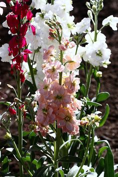 Name: Stock Scientific Name: Matthiola Incana Availability: year round. Aster Flower, Desert Botanical Garden, Types Of Flowers, Compost, 8 Days, Bloom, Backyard, Seasons, February