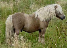 Firth Junius - Mushroom Shetland Stallion