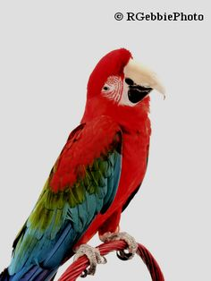This is one of our pet birds, Princess a green wing macaw.