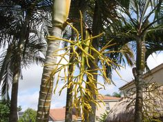 Sample of a Flower/Seed bract on a typical palm tree after the seeds have fallen to the ground.