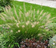 Pennisetum alopecuroides 'Hameln' (Dwarf fountain grass) - Grass - Zones 5-9, Height 2 ft. This petite, compact cultivar is a landscape favorite, especially for those small garden areas! Tidy tufts of foliage are topped in late summer with fuzzy cream-colored blooms. A trouble-free and reliable garden plant. Dwarf fountaingrass prefers full sun in evenly moist, well-drained soils, but will adapt to poor soils with occasional drought.