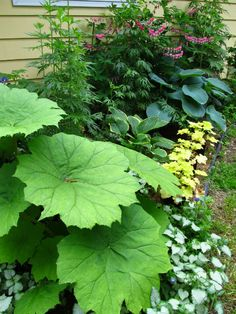 Shade lovers, A variety of plants with interesting leaves, including Astilboides, Lamium, Hosta, Heuchera, Aconitum, Dicentra