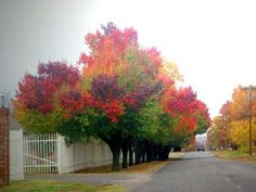 Bradford Pear Tree in a rainbow of colors!