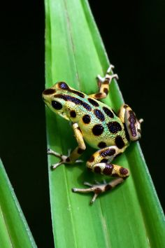 Strawberry poison dart frog, yellow green morph