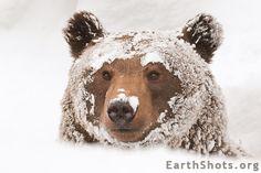 Snow Bear by Fabio De Gennaro