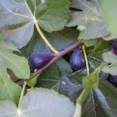 5 Fast-Growing Shade Trees to Plant Now Growing Fig Trees, Fast Growing Shade Trees, Trees To Plant, House Yard, Plants, Modern, Trendy Tree, Tree Planting, Plant