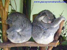#koalas Featherdale wildlife park #sydney #australia http://www.pacoyverotravels.com/2013/04/como-ir-a-featherdale-wildlife-park-desde-sydney.html