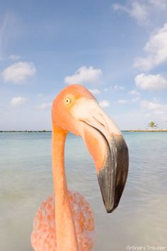 Spend the day with flamingos on the beach -- one of the top things to do in Aruba!
