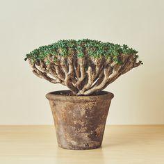 ユーフォルビア・ギラウミニアナ -植物図鑑/盆栽、多肉、塊根、観葉まで。和室にも洋室にも合う植物たち。一つひとつ職人の手による逸品のセレクトショップ