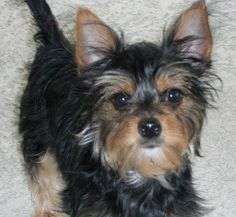 Chorkie information, pictures, health, temperament, and much more about this adorable dog breed.