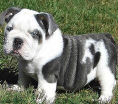 I want this English bulldog, such a cutie <3