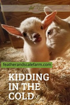 Kidding in the cold can lead to some challenges. Being well prepared can help you meet all of those challenges head-on for a successful kidding Mini Goats, Baby Goats, Backyard Farming, Chickens Backyard, Baby Puppies, Dogs And Puppies, Goat Shelter, Goat Care, Nigerian Dwarf Goats