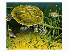 Murray River Short-Necked Turtle,  Australian Wildlife Painting by Kevin Stead