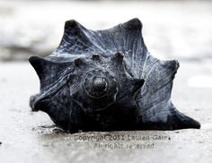 Shell as Old as Time - Conch Whelk Welk Photography Nautical Beach Blue Black…